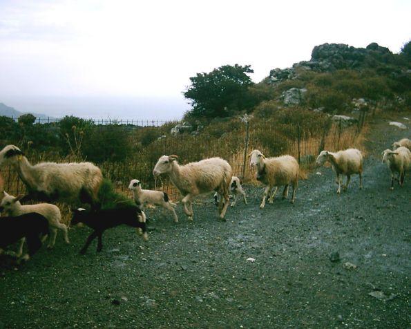 Können auch Schafe gewesen sein …
