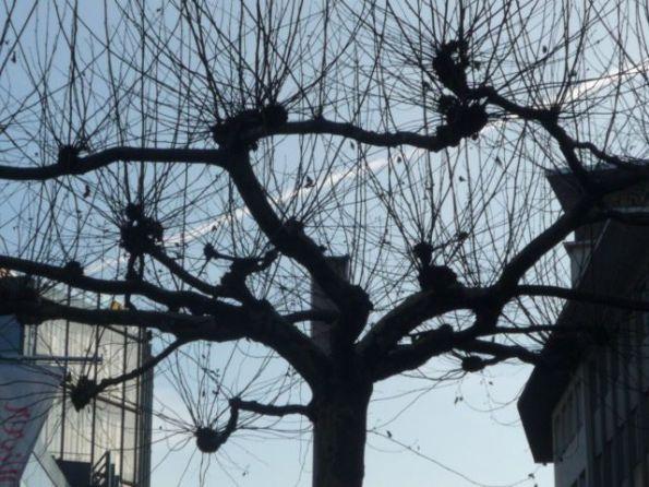 Baum in Bielefeld. Die dünnen Striche sind keine Stricknadeln. Sind Zweige.