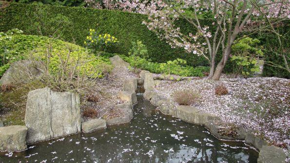 Blüten der Zierkirsche auf Wasser und Wiese – weite Interpretationsräume