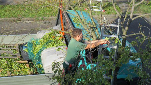 Auf die Leitern, ihr Gärtner, der Baum wird entlaubt Fotos © Doberenz, Kopka
