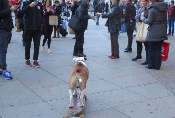 Berlin Alexanderplatz. Hund skated, Herrchen streicht die Gage ein © Fritz-Jochen Kopka