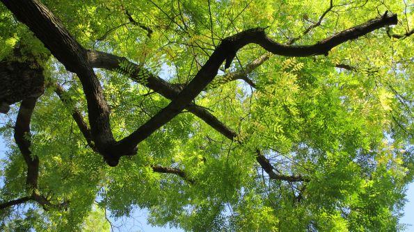 In den Japanischen Schnurbaum hinaufgeschaut